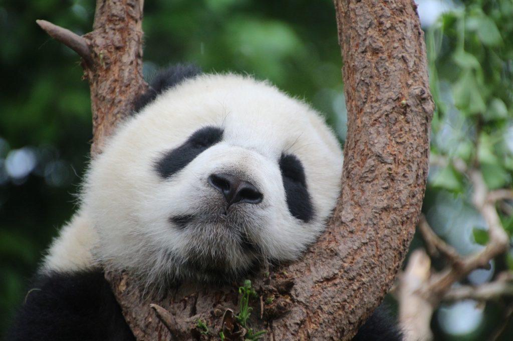 居眠りパンダ