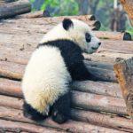 【パンダ】は、かわいいですか?でも、その正体は…。